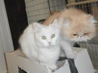 I have a Napoleon, Munchkin, Persian, feline breeding