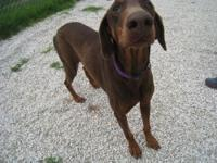 Murdoch is a 4 1/2 yr old red male dobie with natural