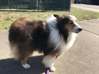 What do you do when you rescue a Sheltie on St.