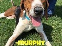 Murphy's story walks well on a leash, likes other dogs,