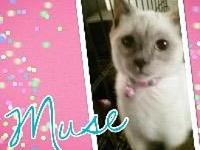 Muse's story Beautiful little Siamese is ready for a