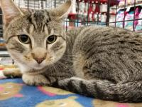 Mush is a young adult DSH tabby looking for a loving