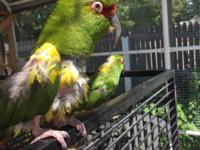 Mushu and Cricket are a pair of Slender-Billed Conures.