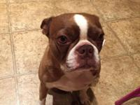 4 year old female Boston terrier brown, fixed, very