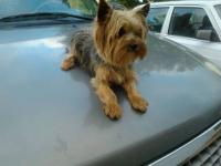 BEAUTIFUL Yorkie male, TINY, 12 weeks old. Has been