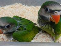 I am taking deposits for 2 mustache parakeets. DNA