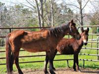 Mustang - Chocolate And Chip - Medium - Adult - Female