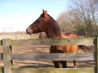 Mustang - Cookie - Medium - Young - Female - Horse