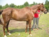 Mustang - Feather - Medium - Adult - Female - Horse