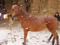 Mustang - Majesty - Medium - Young - Female - Horse