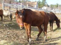 Mustang - Princeton - Medium - Senior - Male - Horse