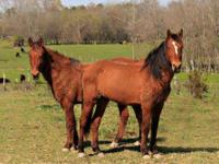 Mustang - Sally - Medium - Adult - Female - Horse Sally