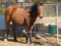 Mustang - Shiloh - Large - Adult - Female - Horse