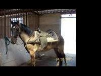 Mustang - Smokey - Medium - Adult - Male - Horse ***