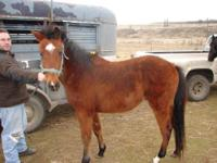 Mustang - Molly - Medium - Young - Female - Horse Molly