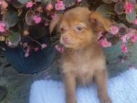 Beautiful little longhair chihuahua she is a Gourgeous