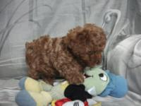 My beautiful well trained toy poodles are well