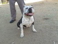 have male and female old english bullie,s 90 lbs each