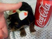 Oh dear, I have this Cute Teacup Yorkie (female). She