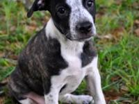 Chuck. Boston Terrier Mix & & Cattle Dog Baby Male