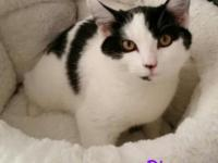 Dice. Domestic Medium Hair-black and white Mix Baby