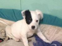 Donatello. American Eskimo Dog Mix & & Spaniel Baby