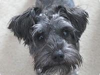 My name is Otto! I'm being cared for by: Schnauzer