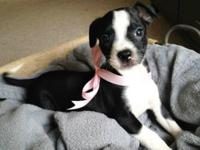 Piper. Boston Terrier Mix & & Cattle Dog Baby Female
