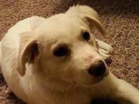 Piper !!! American Eskimo Dog Mix & & Labrador