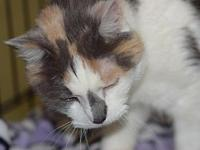 Mya's story Mya is a beautiful dilute calico that was