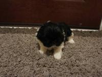 Black with white markings female Pekingese puppy born