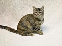 My story Mystique is a 5-month-old Tabby Domestic Short