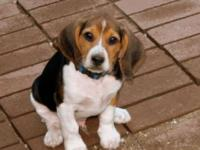 We have two male beagles ready for homes. Blue is 3