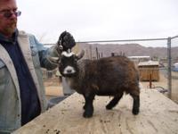 #1 Moore Kidd African Pygmy Goats ,NPGA
