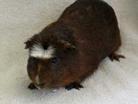 Nachman is gold agouti & white crested American with