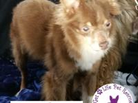 Precious Nakia Pomeranian mix was saved from a kill