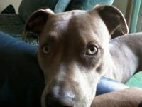 Nala Pretty Young American Pitbull Terrier For Adoption