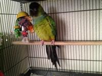 nanday conure needs forever home, will need work to get