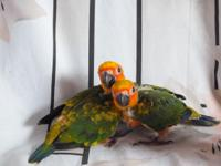 We have 2 Babies Nanday Conure born 05/03/2015 and