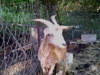 We have a big nanny goat for sale she is about a year