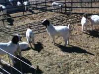 for sale boer cross nannys .. priced from 90.00 up to