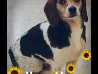 NannyMae's story Have you seen a pocket Beagle? Either