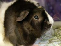 Meet Napoleon! A 2 year-old guinea pig looking for a