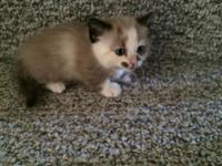Adorable Napoleon Munchkin Kittens, one girl and one
