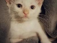 My story Narcissa is a female, Flame Point Siamese