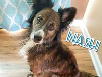 Nash's story Nash is a 4 yr old, male border collie
