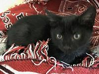 Nash's story Nash is a male domestic shorthair kitten