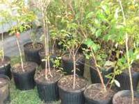 Natchez White Crepe Myrtle $12.00 PLEASE CALL  if you