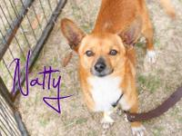 Natty is a super friendly, super lively adult chihuahua