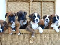 I have a stunning litter of  registered boxer
